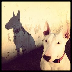 Great posed shot of a bull terrier and its stately shadow. Nice photo idea to achieve something greater than just another pet picture.