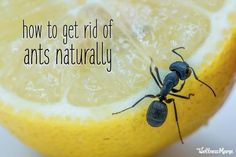 Wondering how to get rid of ants naturally? Here are ways to get rid of these pests in the kitchen, home, and outside without harming your family & pets! Natural Home Remedies, Natural Healing, Herbal Remedies, Health Remedies, Holistic Healing, Ant Remedies, Home Remedies For Ants, Cold Remedies