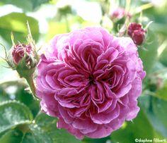 ~Hybrid Perpetual Rose: Rosa 'Monsieur Jules Lemaître' (France, 1890)