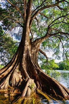 Giant Cypress Tree