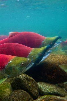 Underwater View of Sockeye Salmon in Adams River by Lee Rentz, via Flickr  British Columbia, Canada