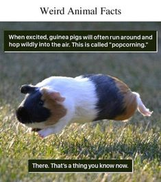 18 Weird Animal Facts You Can Probably Live Without - World's largest collection of cat memes and other animals Weird Animal Facts, Pig Facts, Fun Facts About Animals, Wtf Fun Facts, Random Facts, Funny Facts, Random Things, Cute Funny Animals, Cute Baby Animals