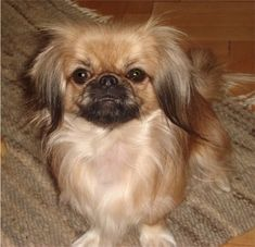 Pekingese Puppies, Pekingese Breeders, Pekingeses For Sale, Pekingeses