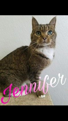 Jennifer: 6 yr old female short hair. Jennifer came to us from Herrin Illinois Animal Control. She is about six years old, and front paw declawed in her younger years. She is a unique looking young lady who resembles a bunny! For more info on Jennifer or to apply: www.hospicehearts.org