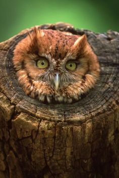 An owl in a tree trunk!
