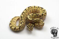 Cinnamon Lesser Bee Baby Snakes, Ball Python Morphs, Area 51, Cinnamon, Bee, Animals, Collection, Beautiful, Canela