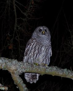 We had a visitor in our front yard in January 2016 - Sidney, BC