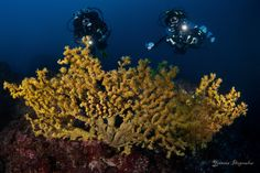Savalia savaglia - gold coral | Underwater Photography by Yiannis Iliopoulos