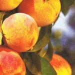 Perzikoos (Pfirsicose �) - Fruitbomen.net Mobiel
