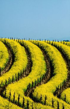 Yellow mustard in the vineyards in Spring, Napa Valley. California, by Lonely Planet Images, Jerry Alexander