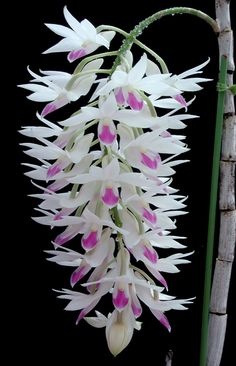 "Dendrobium Culture. ""The general culture for Bobby Messina X (D Jaid Gold X D Ahulani Hinojosa) would be somewhat similar to Dendrobium phalaenopsis, and Dendrobium bigibbum.And Dendrobium Burana Jade is going to be the same."""