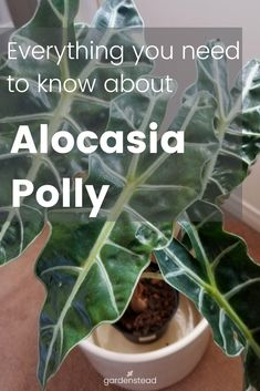 Alocasia Polly is a houseplant favorite and these five hacks will make yours thrive! Read more for our tips on growing this stunning indoor plant. Water Plants, Garden Plants, Garden Beds, Chicken Garden, Chicken Coops, Indore Plants, Alocasia Plant, Types Of Houseplants, Fruit And Vegetable Storage