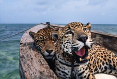 In Mexico these beautiful leopards are chillin in a boat. | The 18 Most Dazzling Photos From National Geographic's History