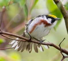 Actually I want to see this Chestnut Sided Warbler