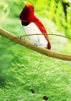 Bird of paradise, Papua, New Guinea