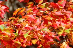 Best maple trees for fall color - Sugar and Red Maples. Besides these good varieties, I warn about invasives.