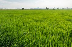rice grass in a big rice paddy in spring time before bearing grains