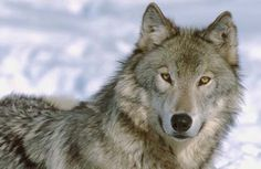 wolves pictures | September Promises to be Killer Month for Wolf Hunters : TreeHugger