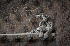 Farmers Urge Return of Jaguars to Protect Crops - Scientific American
