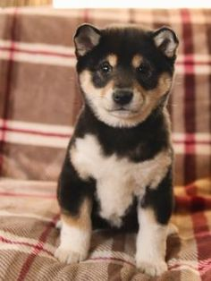 89 Best Shiba Inu Puppies images in 2019   Shiba inu, Shiba, Inu