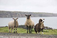 Sheep at Bonavista, Newfoundland - Newfies! Baa Baa, Sheep And Lamb, Newfoundland And Labrador, The Shepherd, Beavers, Black Sheep, Come And See, Salt And Water, Marshalls