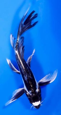 White butterfly koi wanted name will be obake for Black butterfly koi for sale