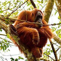 Sumatra Orang Utan, Animals, Indonesia, Round Trip, National Forest, Travel Destinations, Animales, Animaux, Animal