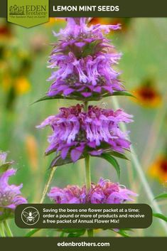 Shop for Lemon Mint Seeds by the Packet or Pound.Com offers Hundreds of Seed Varieties, Including the Finest and Freshest Lemon Mint Seeds Anywhere. Herb Seeds, Annual Flowers, Save The Bees, Flower Seeds, Summer Garden, No Cook Meals, Pretty In Pink, Pink Purple
