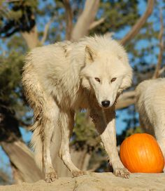 White Wolf: The Legend of The White Wolf This is a Halloween Legend...go to website to read the whole story.