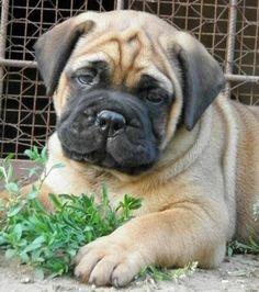 bullmastiff cute pictures | Bullmastiff Puppy!!! So stinking cute. | Dogs & Puppies