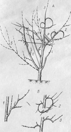 Обрезка и формирование кроны , Сроки обрезки, как правильно образать дерево, прореживание ветвей, формирование кроны у плодоносящих деревьев, формирование кроны у саженцев, уход за деревьями, уход за кустарниками, уход за ягодниками, пересадка растений, как правильно распланировать и посадить сад, сорта плодовых деревьев, Подготовка почвы перед посадкой сада, саженцев, плодовых деревьев, кустов и ягодников, Вы решили завести фруктовый сад, вы решили вырастить фруктовый сад, посадка деревьев…