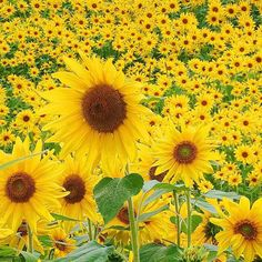 So many sunflowers.