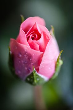 missing you. The beauty of this rose holds nothing in comparison to you - Christa Paterson