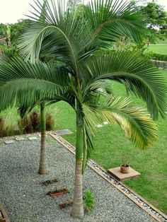 Best Picture For tropical garden ideas jungles For Your Taste Palm Trees Garden, Palm Trees Landscaping, Small Palm Trees, Tropical Landscaping, Front Yard Landscaping, Small Palms, Tropical Garden Design, Backyard Garden Design, House Landscape