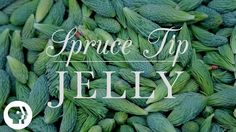 How to forage and cook with spruce tips (with video for spruce tip jelly)