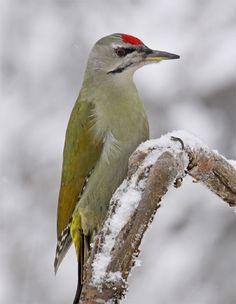 Grey-headed Woodpecker (Picus canus) Europe and Asia I Like Birds, Bird Feathers, Bird Houses, Animals And Pets, Cool Photos, Woodpeckers, Nature, Grey, Beauty