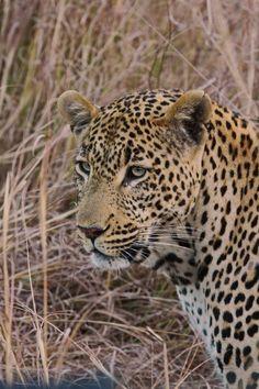 Africa | 'Leopard'. Kruger National Park, South Africa | ©Paul van de Keer