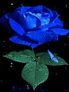 blue rose I love roses.might have to get this one for my garden. Beautiful Flowers Wallpapers, Beautiful Rose Flowers, Unusual Flowers, Rare Flowers, Amazing Flowers, Blue Roses Wallpaper, Flower Phone Wallpaper, Gif Rose, Flowers Gif