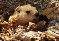 The Woodchuck is also called the Groundhog. They're closely related to squirrels and they build impressive homes in the soil. A groundhog's burrow can be anywhere from 8-66 feet long, with multiple exits and a number of chambers.