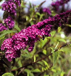 Buddleia 'Royal Red'    http://bulbsnblooms.com/buddleia-39royal-r3939.html