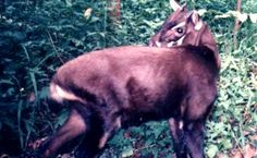 """<p>The critically endangered saola isn't known as the """"Asian unicorn"""" for…"""