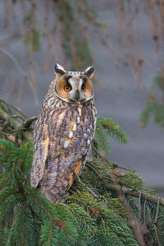 Photo Long-eared owl by Zbikuj on Nocturne, Nocturnal Birds, Long Eared Owl, Owl Pictures, Beautiful Owl, Owl City, Wise Owl, Animal Totems, All Gods Creatures