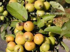 malus golden hornet Hornet, Plum, Fruit, Food, Vespa, Meals