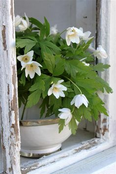 060314 wood anemone ~ Old peeling paint with fresh flowers...gives this window new life~❥