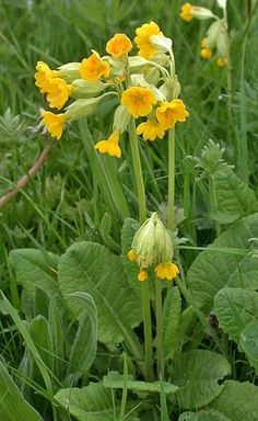 Cowslips, banks of them on the road verge makes you feel excited for spring and the coming of summer, bringing back memories of childhood days.