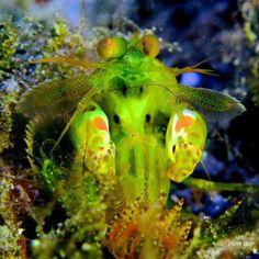 Green Mantis Shrimp