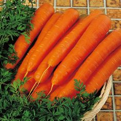 Carrot F1 Resistafly Seeds - Suttons Seeds and Plants
