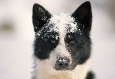 Karelian bear dog - wanna move back to AK so that I can have one of these!!!!