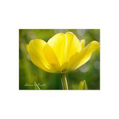 Blumenbild auf Leinwand, als Kunstdruck oder Fototapete  Goldener Frühling