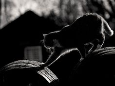 Scottish Gifts - Distillery Cat, Bladnoch by Peter - Photographer